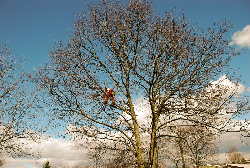 Obrezovanje dreves cena