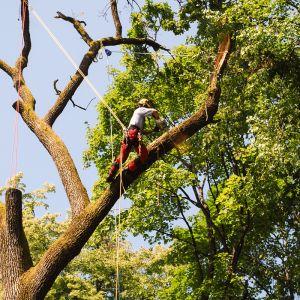 gozdarstvo podiranje dreves