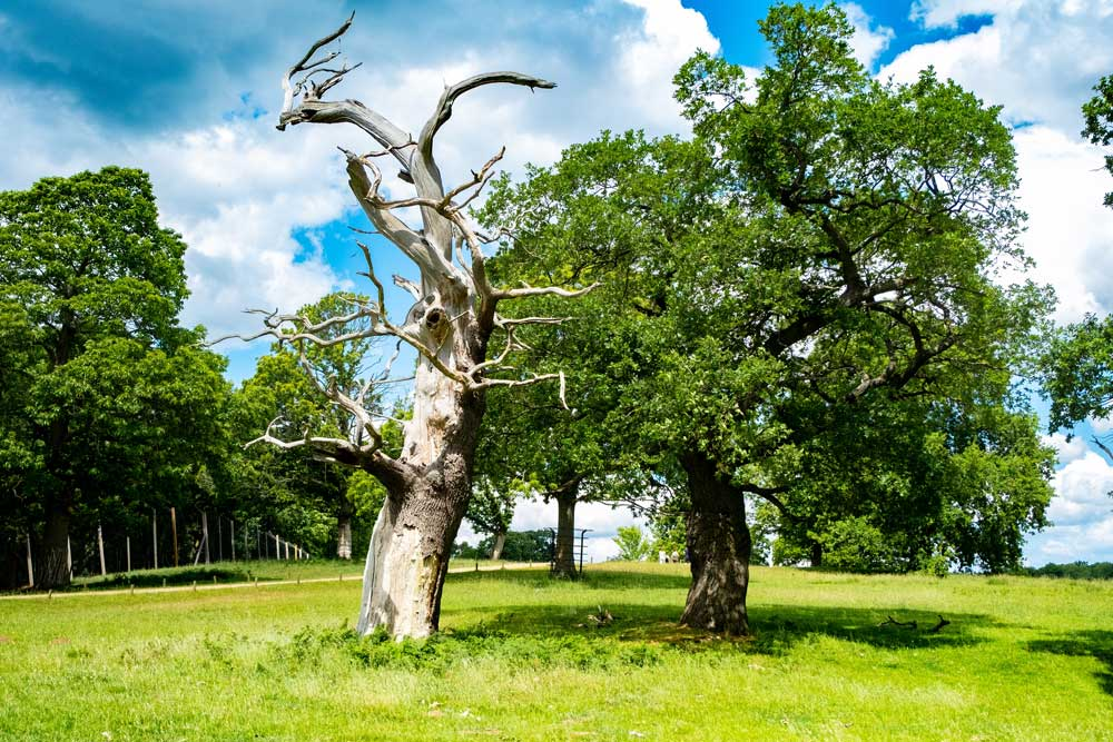 Podiranje starih dreves