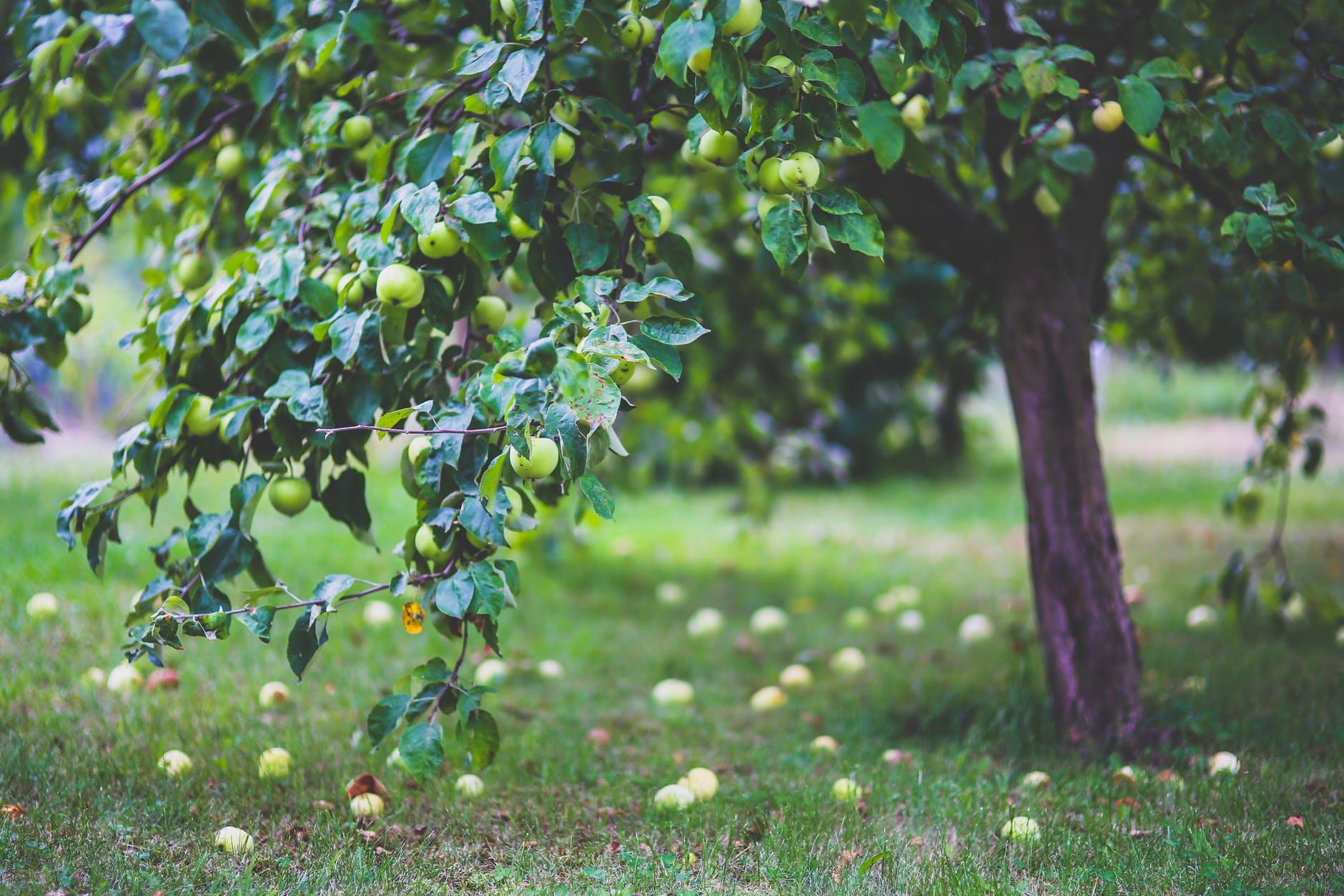 K urejanju okolice hiše in vrta, spadata sajenje in obrezovanje drevja