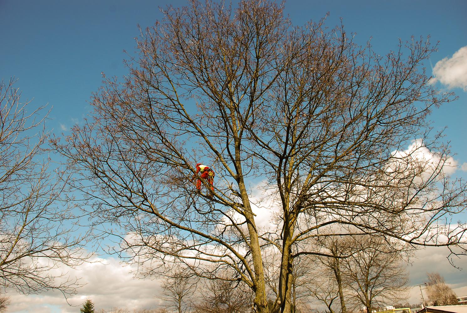 Posek in obrezovanje dreves ter sadnega drevja